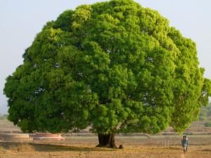 pohon besar